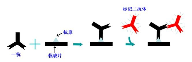 间接免疫荧光法步骤