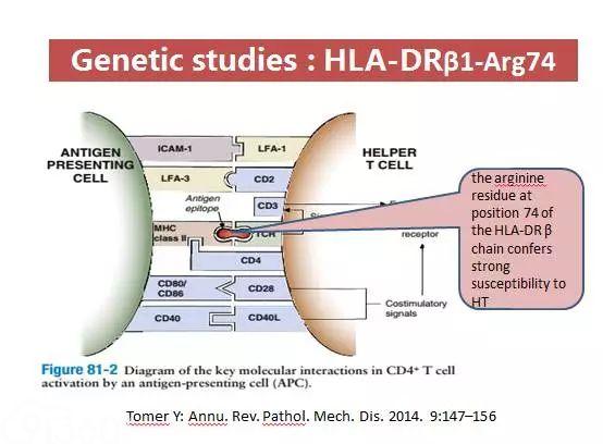 图1 HLA-DRβ链74位的精氨酸残基调节HT